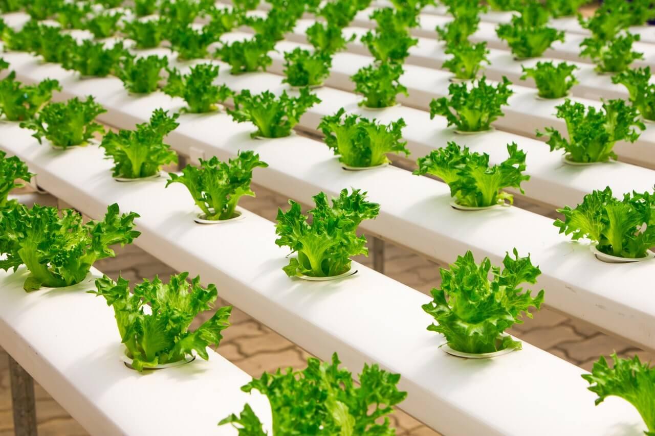 Cultivo de lechuga en sistema NFT
