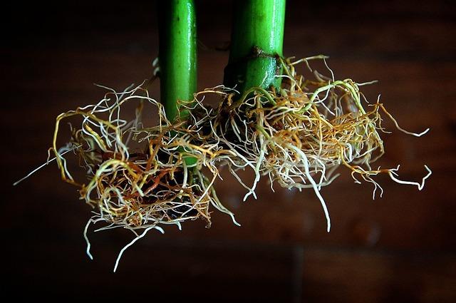 Crecimiento de raíces en cultivo Aeroponía