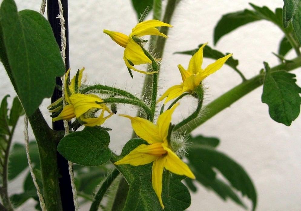 Flores amarillas de los tomates cultiva en terraza de casa