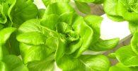 Cultivo de lechugas con un método de cultivo hidropónico
