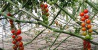 Cultivo de tomates en rama hidropónico