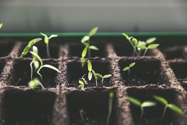 Proceso de germinación de tomate en hidroponía
