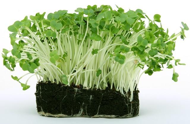 Plantones germinados en sustrato