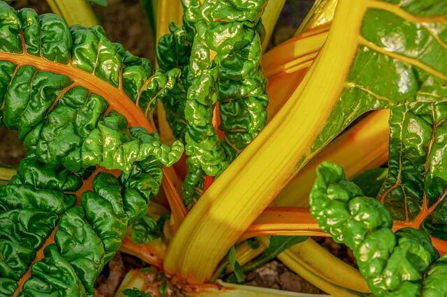 Cultivo en España de acelga amarilla